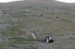 在企鹅圣所的Magellanic企鹅在马格达莱纳海岛上在蓬塔阿雷纳斯附近的麦哲伦海峡在南智利 图库摄影