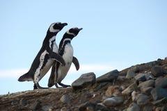 在企鹅圣所的Magellanic企鹅在马格达莱纳海岛上在蓬塔Ar附近的麦哲伦海峡 库存照片