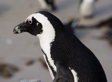 在企鹅殖民地的公驴企鹅 库存照片