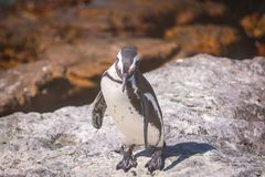 在企鹅殖民地的非洲企鹅在贝蒂的海湾 图库摄影