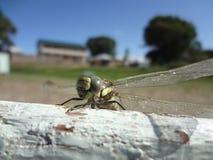 在伊塞克湖的蜻蜓 图库摄影
