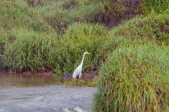 在伊瓜苏瀑布的鸟 免版税图库摄影