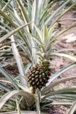 在伊甸园项目生物圆顶里面的菠萝植物 免版税图库摄影
