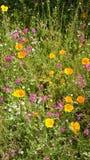 在伊甸园项目的野花领域在康沃尔郡 免版税库存照片