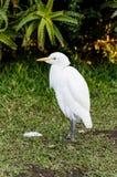 在伊甸园鸟的白鹭普莱滕贝尔格海湾的南非 免版税图库摄影