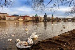 在伏尔塔瓦河河河岸的天鹅在布拉格,捷克 免版税库存照片