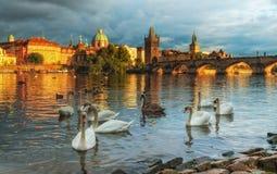 在伏尔塔瓦河河的天鹅在布拉格,捷克 查尔斯桥梁 库存照片