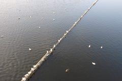 在伏尔塔瓦河的鸥 图库摄影