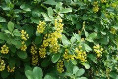 在伏牛花leafage的黄色花在春天 免版税库存照片