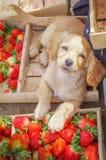 在休息接近的观点的一只美丽的小狗上鲜美厄瓜多尔草莓在新近地收集了木箱 免版税库存图片
