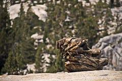 在优胜美地全国Pa山的巨型干燥树片段  免版税库存照片