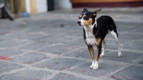 在会安市,越南街道上的狗  库存图片