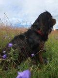 在会开蓝色钟形花的草中的骑士国王查尔斯狗 库存图片