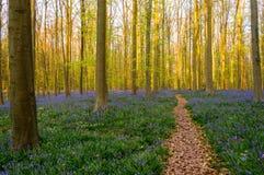 在会开蓝色钟形花的草地毯的森林道路 免版税库存图片