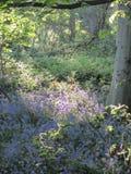 在会开蓝色钟形花的草木头的春天阳光 图库摄影