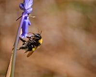 在会开蓝色钟形花的草的土蜂 免版税库存图片