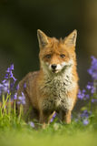在会开蓝色钟形花的草的镍耐热铜-狐狸狐狸 免版税库存图片