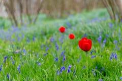 在会开蓝色钟形花的草的领域的三红色郁金香 图库摄影