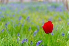在会开蓝色钟形花的草的领域的红色郁金香 库存照片