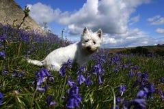 在会开蓝色钟形花的草的Westie 免版税库存图片
