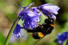 在会开蓝色钟形花的草花的蜂 库存照片