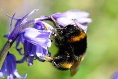 在会开蓝色钟形花的草花的蜂 免版税库存图片