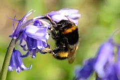在会开蓝色钟形花的草花的蜂 免版税库存照片