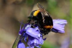 在会开蓝色钟形花的草花的蜂 库存图片