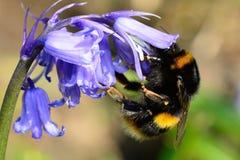 在会开蓝色钟形花的草花的蜂 免版税图库摄影