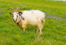 在会开蓝色钟形花的草领域的山羊 免版税库存图片