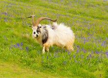 在会开蓝色钟形花的草领域的山羊 库存照片
