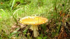 在伞形毒蕈Muscaria蘑菇的看法在森林里 股票录像