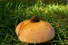 在伞菌的蟾蜍 库存图片