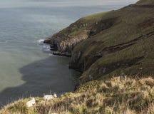 在伟大的Orme的山坡山羊在兰迪德诺,威尔士在英国 免版税库存照片