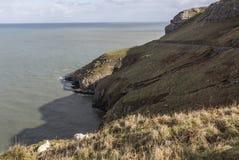 在伟大的Orme的石山羊在兰迪德诺,威尔士在英国 免版税库存照片