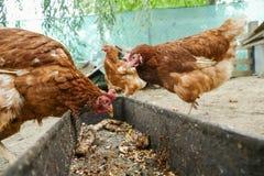 在传统农村仓库广场的母鸡饲料 站立在农村庭院的草的母鸡在乡下 鸡接近 免版税库存图片