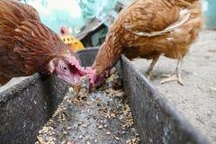 在传统农村仓库广场的母鸡饲料 站立在农村庭院的草的母鸡在乡下 鸡接近 图库摄影