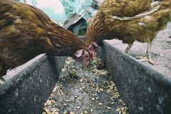 在传统农村仓库广场的母鸡饲料 站立在农村庭院的草的母鸡在乡下 鸡接近 免版税库存照片