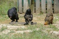 在传统农村仓库广场的母鸡饲料 站立在农村庭院的草的母鸡在乡下 鸡接近 库存图片