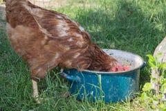 在传统农村仓库广场的母鸡饲料 站立在农村庭院的草的母鸡在乡下 库存照片