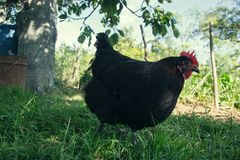在传统农村仓库广场的母鸡饲料 站立在农村庭院的草的母鸡在乡下 库存图片
