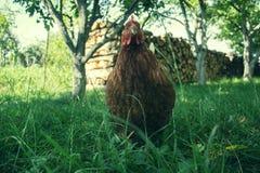 在传统农村仓库广场的母鸡饲料 站立在农村庭院的草的母鸡在乡下 免版税库存图片