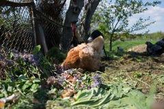 在传统农村仓库广场的母鸡饲料 站立在农村庭院的草的母鸡在乡下 免版税库存照片