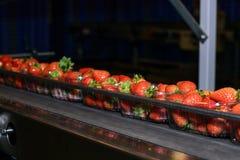 在传送带的草莓 库存图片