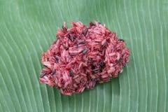 在传统泰国香蕉叶子ba的煮熟的有机红褐色的米 库存照片