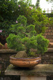 在传统瓦器的杜松盆景 免版税图库摄影