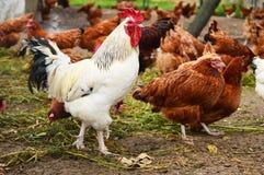 在传统自由放养家禽养殖的雄鸡 免版税库存图片