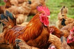 在传统自由放养家禽养殖的雄鸡 免版税图库摄影
