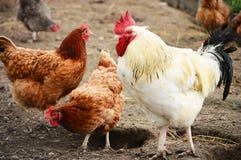 在传统自由放养家禽养殖的雄鸡 免版税库存照片
