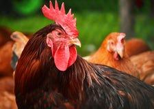 在传统自由放养的家禽场的雄鸡 库存图片